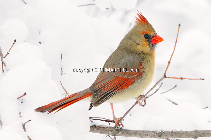 00132-002.12 Northern Cardinal female is perched in snow covered shrub after recent snow storm.  Cold, winter, color, songbird.