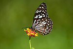 Blue Tiger Butterfly, Tirumala limniace, feeding on flower, Sri Lanka, danaid group of the brush-footed butterfly family