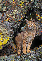 BOBCAT in lichen covered rocks..Rocky Mountains. Autumn..(Felis rufus).