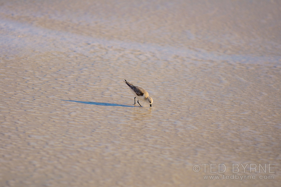 Sandpiper feeding in shallow water on beach