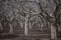 Almond orchard in winter.