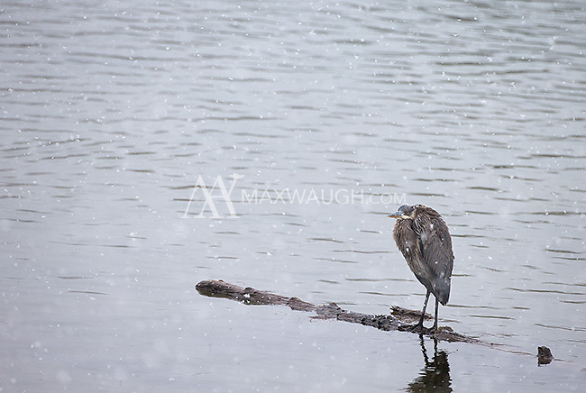 A great blue heron endures a snow storm.