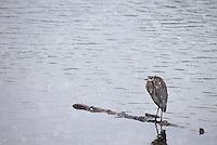 A great blue heron endures a snow storm.