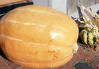 Giant Pumpkin Big Max, picked and lying on patio