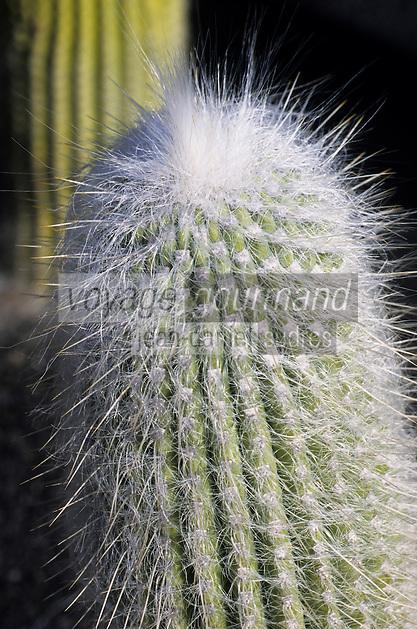 Europe/Espagne/Canaries/Lanzarote/Guatiza : Le jardin de cactus conçu par Cesar Manrique - Cephalocereus sanilis