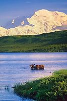 Bull moose feeds in Wonder Lake, snow covered Mt. Denali in the distance, Denali National Park, Alaska.