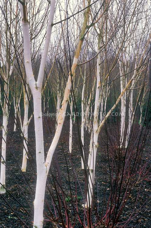 Betula utilis var. jacquemontii birch trees with Cornus 'Kessselringii' in winter bark and stmes