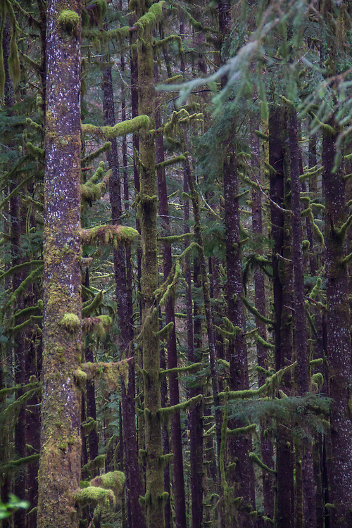Hoh River, Hoh River Trust, The Nature Conservancy, TNC, conifer forest, moss, spring, 2017, Olympic Peninsula, Washington State, Pacific Northwest, USA,