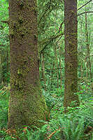 ORCOC_D276 - USA, Oregon, Siuslaw National Forest. Cape Perpetua Scenic Area, Old growth coastal rainforest of Sitka spruce (Picea sitchensis) lush with understory.