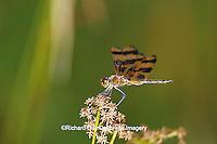 06579-00108 Halloween Pennant (Celithemis eponina) in wetland, Marion Co.  IL