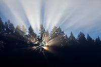 Sunrays Through Pine Tree Forest at Sunrise, Cascade Mountain Range, Washington, USA.