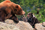 A captive North American grizzly and cub (Ursus arctos) look at each other in play, in Estes Park, Colorado.