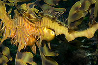 leafy Seadragon, Phycodurus eques, A females tail immediately prior to mating. The ovipositor is extremely swollen, Wool Bay, South Australia, Australia, Southern Ocean