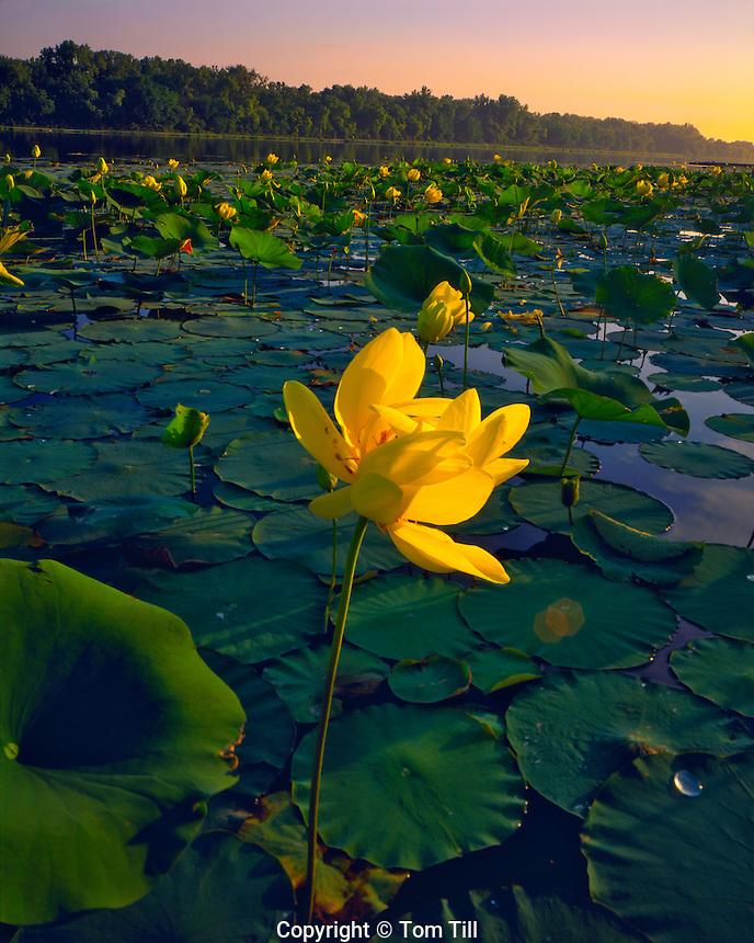 Summer American Lotus Blooms on De Soto Lake, Missouri River, De Soto National Wildlife Refuge, Iowa