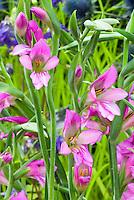 Gladiolus communis ssp byzantinus in pink flower, summer blooming bulbs