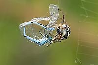 Orb-web Spider - Zygiella x-notata - with damselfly prey