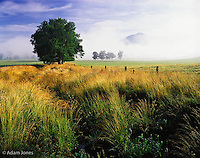 Single tree and distant Rich Mountain rising through mist, Cades Cove, Great Smoky Mountains National Park, Tennessee.