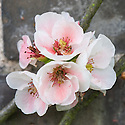 Flowering or Japanese quince (Chaenomeles speciosa 'Apple Blossom'), mid April.