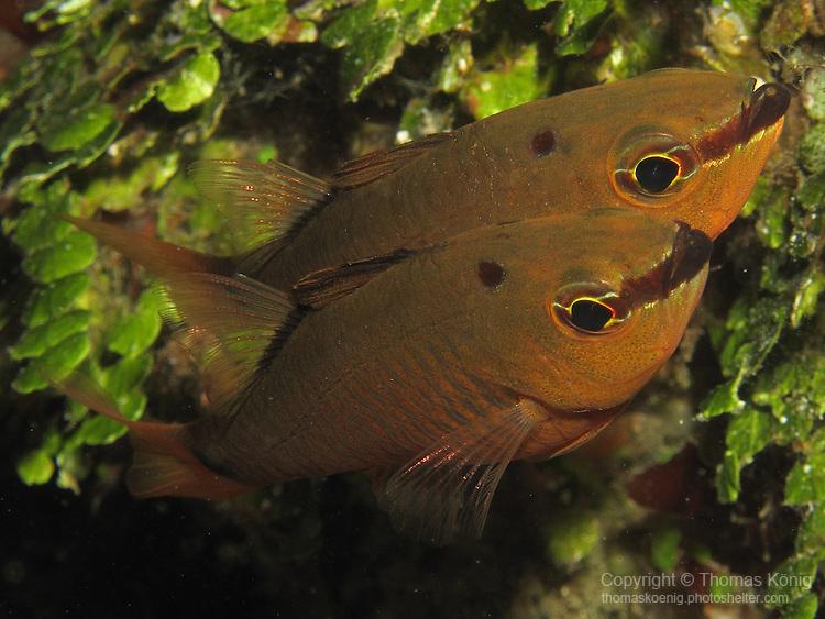 Kenting, Taiwan --  A spotnape cardinalfish couple.