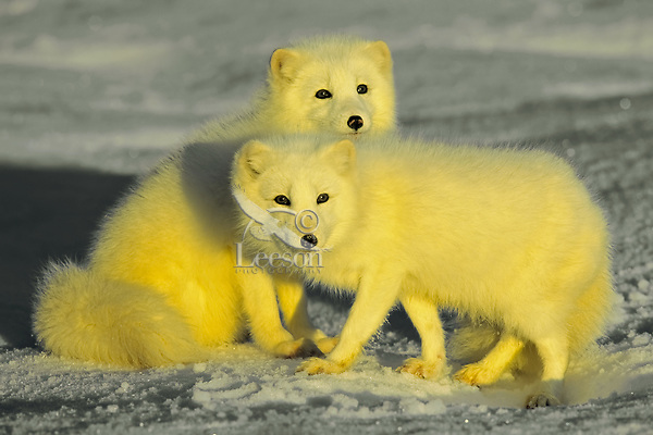Arctic foxes (Vulpes lagopus) in early morning light.