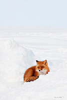 A red fox rests in the crook of a snow bank on Alaska's north slope.