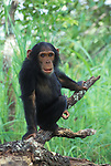 Tarzan getting curious.Young eastern male chimpanzee (Pan troglodytes schweinfurthii).Gombe National Park, Tanzania
