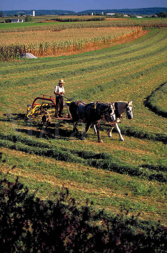 Horse team pulling farm equipment in a hay field. Amish man. Strasburg Pennsylvania USA Lancaster County.