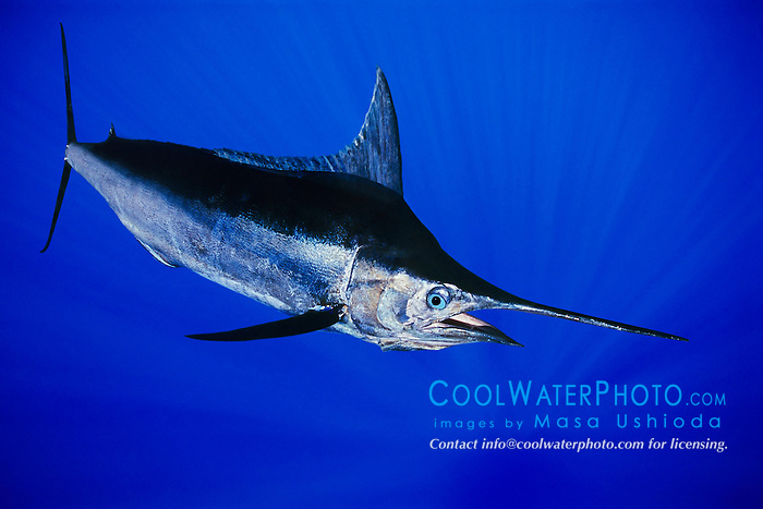 Indo-Pacific blue marlin, aka au in Hawaiian and kajiki in Japanese, Makaira nigricans, Kona Coast, Big Island, Hawaii, USA, Pacific Ocean, digital composite