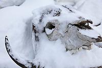 Muskox skull covered with fresh snow, Kaktovik, Alaska