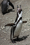 Humboldt Penguin standing and vocalizing (Spheniscus humboldti).