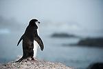 Chinstrap Penguin (Pygoscelis antarcticus), rear view overlooking an Antarctic landscape, Gourdin Island, Antarctica