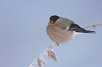 Eurasian Bullfinch, Pyrrhula pyrrhula, female eating seeds of Stinging Nettle(Urtica dioica) with frost by minus 15 Celsius, Lenzerheide, Switzerland, Europe