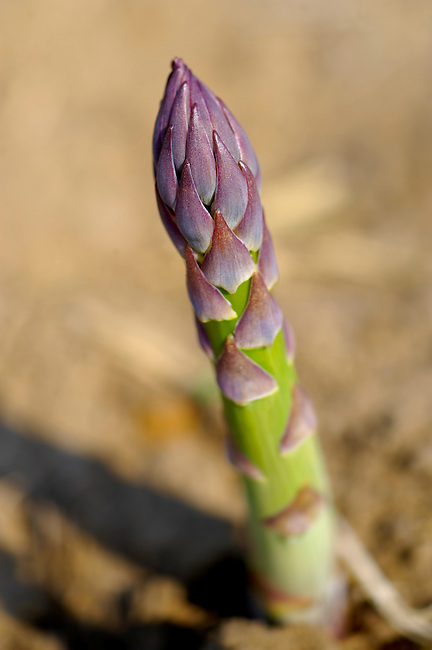 fresh asparagus spears growing in a field