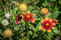 Flowering plants in the Cimarron National Grassland in Western Kansas.