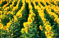 Sunflower field, Helianthus annuus