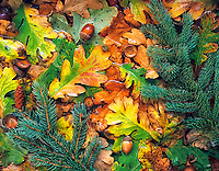 Fall colored Oregon White Oak leaves anf fir tree branches in pond near Alpine, Oregon