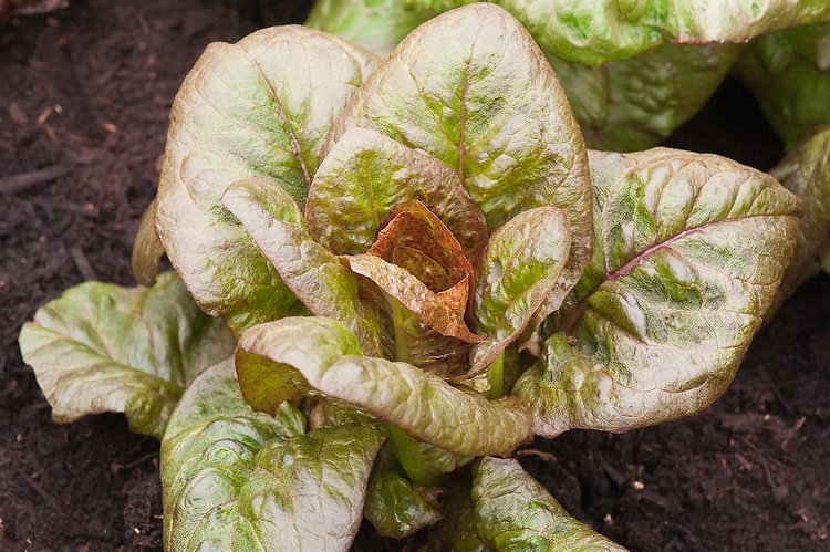 Lettuce 'Infrared', a slightly speckled red cos variety.