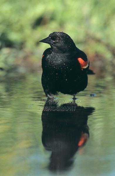 Red-winged Blackbird, Agelaius phoeniceus,male summer plumage, Welder Wildlife Refuge, Sinton, Texas, USA, April 2005
