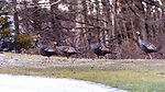 MIDDLEBURY, CT. 08 January 2020-010820BS14 - Wild turkeys take a stroll in Middlebury on Wednesday. Bill Shettle Republican-American