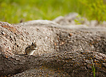 A chipmunk eats some food perched on the bark of a large tree root.