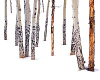 Aspen tree trunks (boles) with scars from winter feeding by Elks in a snow-covered forest.