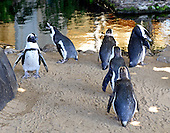 South African Black Foot Penguins, a species listed on the INCU red list of endangered species, reside in a specially constructed habitat in the lobby of the Hyatt Regency Maui Resort on Kaanapali Beach, Hawaii on Sunday, February 24, 2013..Credit: Ron Sachs / CNP