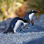 fiordland crested penguins, west coast, new zealand