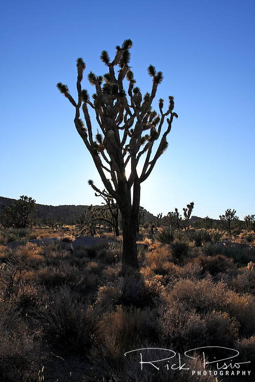 A Joshua Tree is silhouetted in front of Teutonia Peak in Mojave National Preserve. The Joshua Tree forest on Cima Dome, which surrounds Teutonia Peak, is the largest concentration of Joshua Trees in the world.