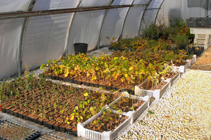 Young plants in the nursery that have been seeded with truffles spores and that will be planted and produce truffles. Young oak holly holm-oak and hazel plants Truffiere de la Bergerie (Truffière) truffles farm Ste Foy de Longas Dordogne France