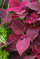 Solenostemon (Coleus) 'Red Rosie' annual foliage plant with red magenta purple ornamental leaves