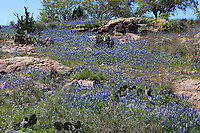 Texas Bluebonnets surround pink granite in the Texas Hill Country