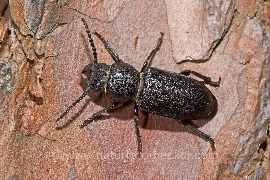 Waldbock, Wald-Bock, Waldbockkäfer, Wald-Bockkäfer, Walzenbock, Rollenschröter, Spondylis buprestoides, Black longicorn beetle, firewood longhorn beetle