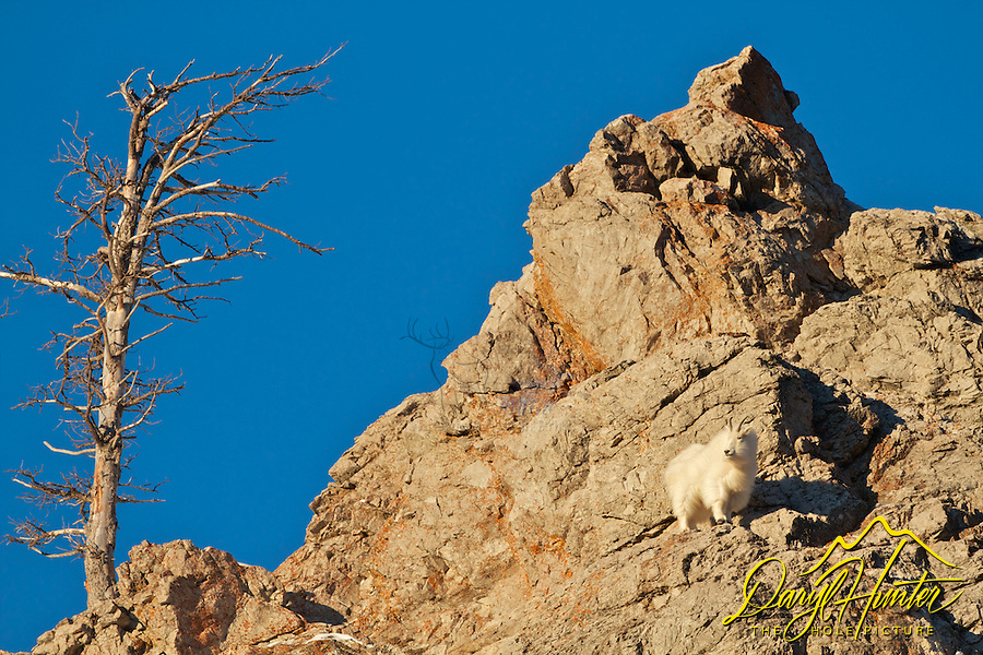 Mountain Goat on a cliff, Snake River Range, Alpine, Wyoming