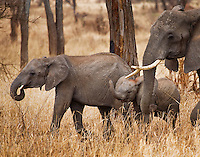African elephants in the woodlands of Tarangire National Park in northern Tanzania